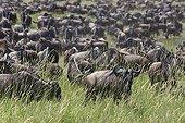 Gnous à queue noire dans la savane - Serengeti Tanzanie