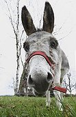 Portrait of Donkey in the meadow - Alsace France