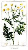 Botanical drawing of german chamomile