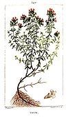 Illustration botanique ancienne de Thym