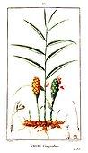 Botanical drawing of garden ginger