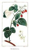 Botanical drawing of raspberry