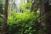 Temperate Rainforest - Lakelse British Columbia Canada