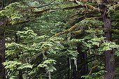 Temperate Rainforest -  Exchamsiks British Columbia Canada