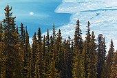 Coniferous forest and Peyto Lake - Banff Alberta Canada