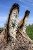 Ass earrings in a meadow - Normandy France