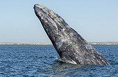 Gray whale - Ojo de liebre lagoon Baja California