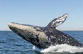 Baleine grise - Lagune Ojo de Liebre Basse Californie