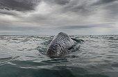 Baleine grise à la surface - Océan Pacifique Mexique