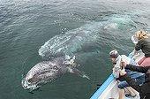 Baleine grise à la surface et touristes - Pacifique Mexique ; bébé baleine grise joue avec une panga