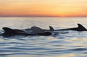 Pilot whales at dawn - Sea of Cortes