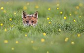 Cub Red Fox coming out his den in a meadow at spring - GB