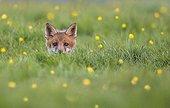 Jeune Renard roux sortant du terrier au printemps - GB
