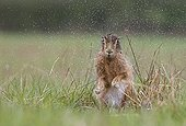Brown Hare shaking itself after the rain at spring - GB