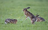 Brown Hares boxing in the rain at spring - GB