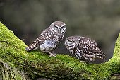 Little Owl displaying on a mossy branch at spring - GB