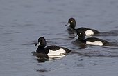 Flock Tufted Duck swimming in winter - GB