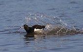 Tufted Duck landing on water in winter - GB