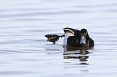 Tufted Duck stretching its leg on water in winter - GB