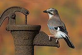 European Jay perched on an old water pump in autumn - GB