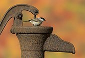Marsh Tit perched on an old water pump in autumn - GB