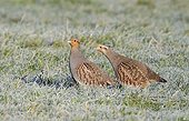 Couple Grey Partridges foraging in a frozen meadow - GB