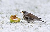 Fieldfare eating an apple in the snow in winter - GB