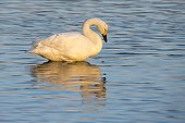 Bewick's Swan standing in shallow water - GB
