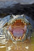 Jacare caiman on a river bank - Mato Grosso - Brazil