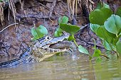 Jacare caiman eating a fish - Mato Grosso - Brazil
