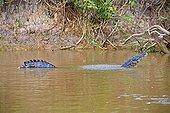Jacare caiman marking his territory - Mato Grosso - Brazil ; Marking his territory by making sounds and lifting water bubbles