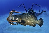 Dusky Grouper eating Common Octopus - Azores