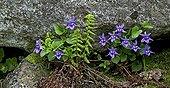 Violets in bloom in Catalonia - Spain