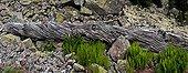Fallen pine trunk and ferns - Catalonia - Spain