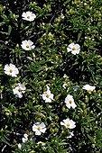 Montpellier cistus in bloom - Catalonia -Spain
