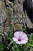 Mallow bindweed in bloom - Catalonia -Spain