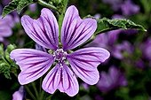 Common mallow in bloom - Catalonia - Spain