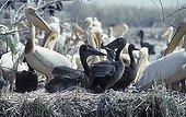 Great white pelican fledgling on nest
