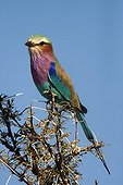Lilac-breasted roller on a branch - Etosha Namibia