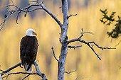 Bald eagle on dead tree at dawn - Jasper Alberta Canada