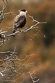Southerm Caracara on a branch - Torres del Paine Chili