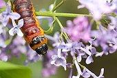 Goat Moth on flowers