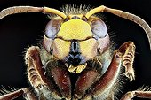 Portrait of European Hornet on black background