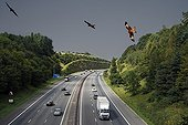 Red Kites in flight over the highway, UK- Composite image. iM40 going through Chilterns