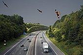 Milans royaux en vol au-dessus de l'autoroute, Royaume-Uni - Montage numérique. iM40 passant par Chilterns