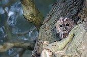 Tawny owl at roost - Warwickshire UK