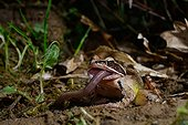 Agile frog eating an earthworm - Poitou France