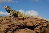 Desert collared lizard on rock - Death valley California USA