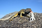 Collared lizard eating a Zebra-tailed lizard - Death valley
