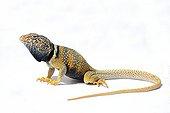 Desert Collared Lizard on white background